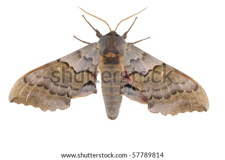 A Pachysphinx moth isolated on white background - top view - stock photo