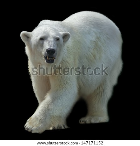 A pacing female of polar bear, isolated on black background. - stock photo