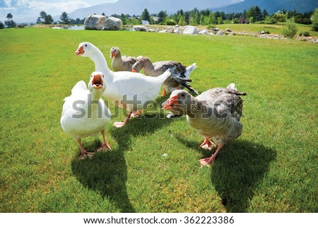 A pack of angry geese on a green grass loan attacking on camera. Lake and mountains on the back. - stock photo