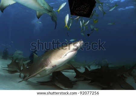 A pack of lemon sharks gather around a bait box.