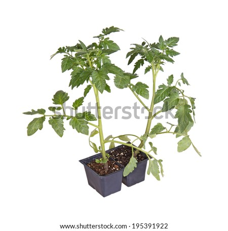 A pack of two tomato seedlings (Solanum lycopersicum or Lycopersicon esculentum) ready to be transplanted into a home garden isolated against a white background - stock photo