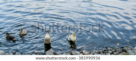 A pack of wild ducks or mallards (anas platyrhynchos) getting out of the pond - stock photo