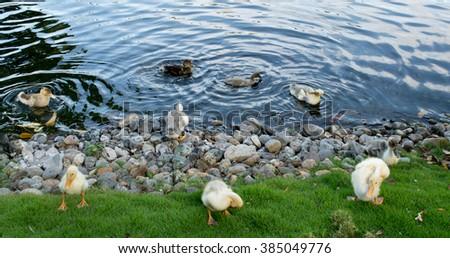 A pack of wild ducks or mallards (anas platyrhynchos) walking around the stone pond shore - stock photo