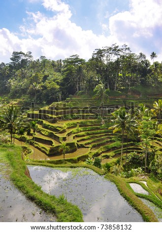 A paddy field / rice terrace in Indonesia - stock photo