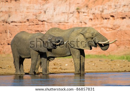 A pair of African elephants drinking from a river - stock photo