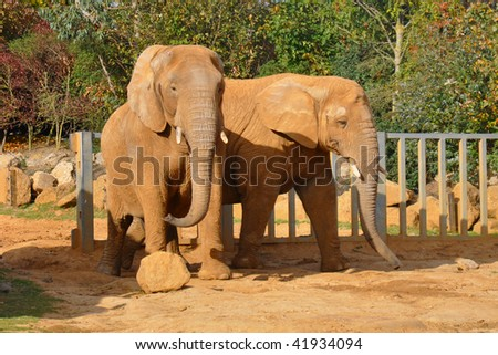 A pair of african elephants in Colchester Zoo - stock photo