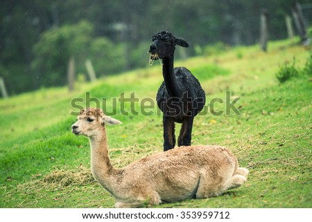 A pair of alpacas in a field during the day in Queensland - stock photo