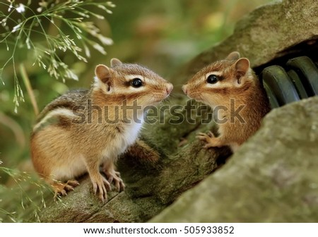 A pair of baby chipmunk siblings near their drainpipe hiding spot