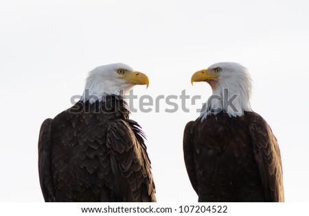 A pair of bald eagles at the Klamath basin looking for prey. - stock photo