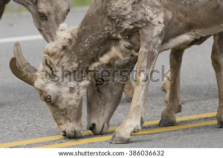 A pair of big horn sheep licking salt off a roadway in Banff, Canada, resemble a mythical two-headed creature.  The weirdness of their image is enhanced by the scraggliness of their spring coats. - stock photo
