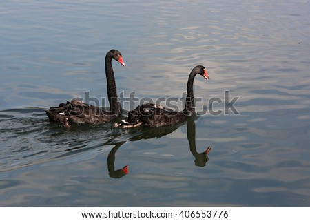 A pair of black swans swimming in the pond - stock photo