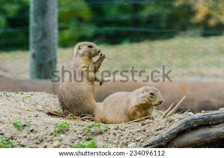 A pair of black tailed prairie dogs - stock photo