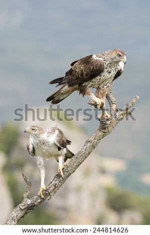 A Pair of Bonelli's Eagle (Aquila fasciata) perched on a branch. - stock photo