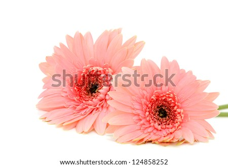 A pair of bright pink gerbers