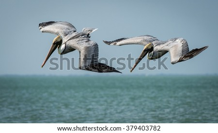 A pair of Brown Pelicans fishing at Lovers Key Beach, Florida Gulf Coast. - stock photo