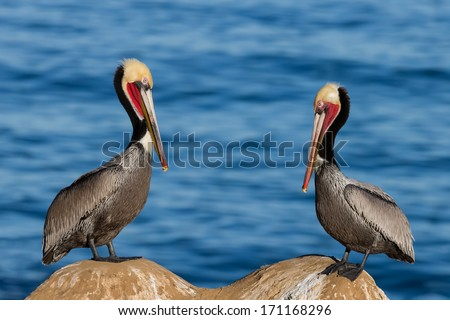 A Pair of Brown Pelicans in Winter Plumage - stock photo