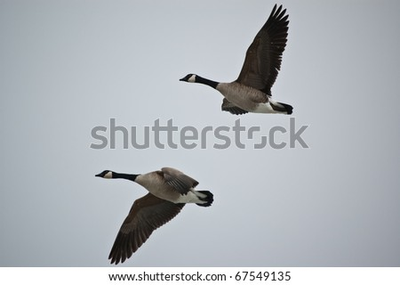 A pair of Canada Geese (Branta canadensis) fly through a grey sky. - stock photo