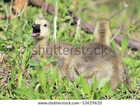A pair of Canada goose goslings sitting in the grass.