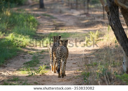 A pair of cheetahs walk off into the horizon  - stock photo