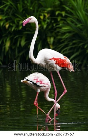 A pair of Chilean Flamingos - stock photo