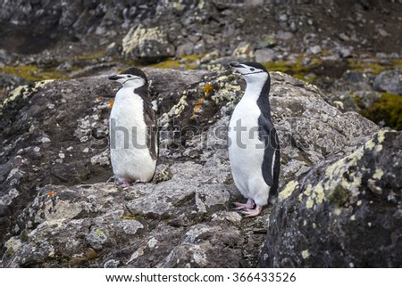 A pair of Chinstrap penguins - stock photo