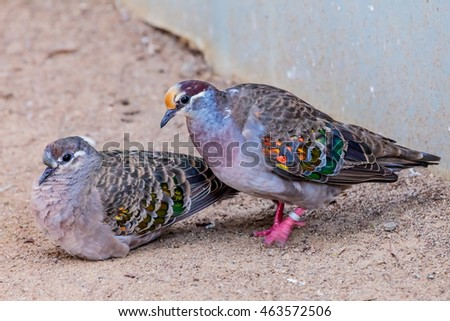 A pair of Common Bronzewing pigeons.