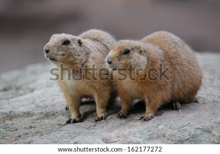 A pair of curious marmot sitting on a rock