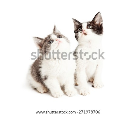 A pair of cute little kittens sitting together on a white background and looking up into white space - stock photo