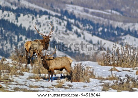 A pair of elk with one bugling - stock photo