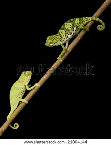 a pair of Flat Neck Chameleon (Chamaeleo dilepsis) on black background.