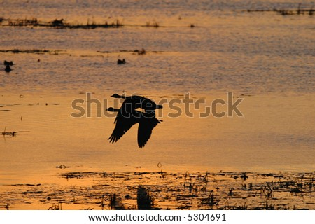 A pair of geese fly over the wetland during a golden sunset. - stock photo