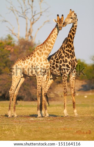 A pair of giraffes standing on the banks of the Chobe river in Botswana on a sunny summer day