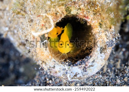 A pair of Gobies look out from an old, discarded glass bottle on