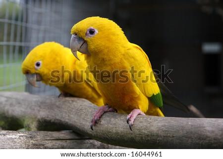 A pair of golden conures in an aviary. Latin name Guaruba guarouba.  Native to Brazil. - stock photo
