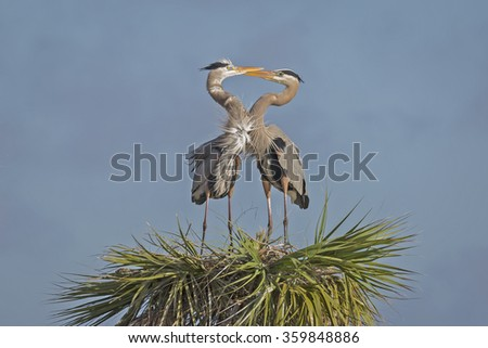 A pair of Great Blue Herons (Ardea herodias) form a heart as they engage in courtship display - Viera Wetlands, Florida - stock photo