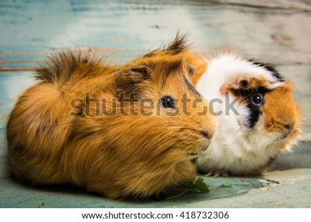 A pair of guinea pigs on the wooden table - stock photo