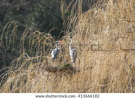 A Pair of Heron Birds on a High Tree Nest. - stock photo