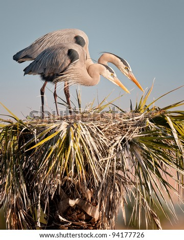 A pair of herons on their nest at the Ritch Grissom Memorial Wetlands (often referred to as the Viera Wetlands) in Melbourne, Florida - stock photo