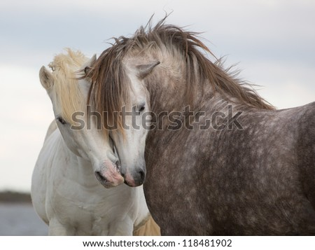 A pair of horses kissing with their heads leaning on one another - stock photo