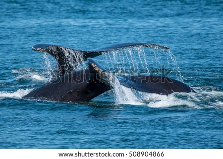 A pair of humpback whales feeding near Prince Rupert, British Columbia,Canada