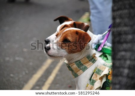 A pair of Jack Russell terriers wearing colourful scarves watch the annual Jack In The Green festival at Hastings in East Sussex, England. - stock photo