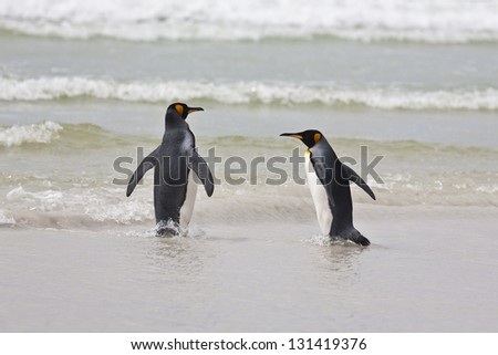 A pair of king penguins enters the water at the ocean