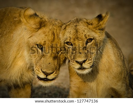 A pair of Lion Cubs greet each other - stock photo
