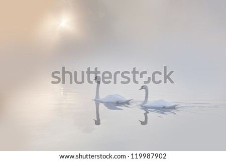 A Pair of Mute swans (Cygnus olor) gliding across a mist covered lake at dawn - stock photo