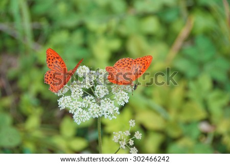 a pair of orange butterflies - stock photo