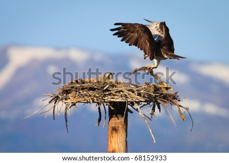 A pair of Osprey building their nest to prepare for the hatching of their babies, Montana. - stock photo