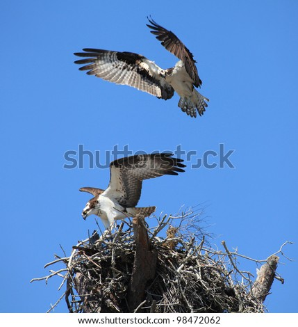 A pair of Osprey Flying to Their Nest - stock photo