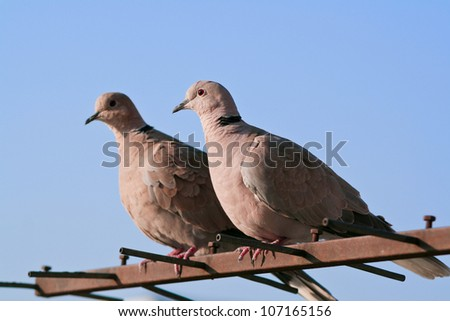A pair of pigeons - stock photo