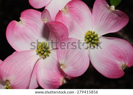A pair of pink blooms on the flowering dogwood tree - stock photo