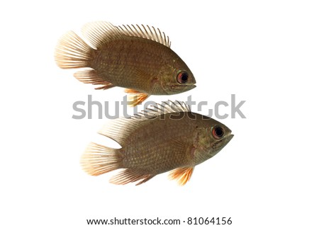 A Pair of Pristolepis marginatus also known as the Malamba Leaf Fish - stock photo